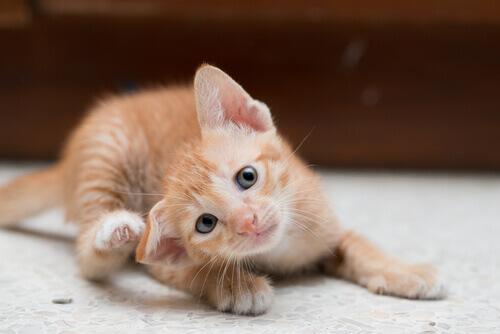 gato-rasga