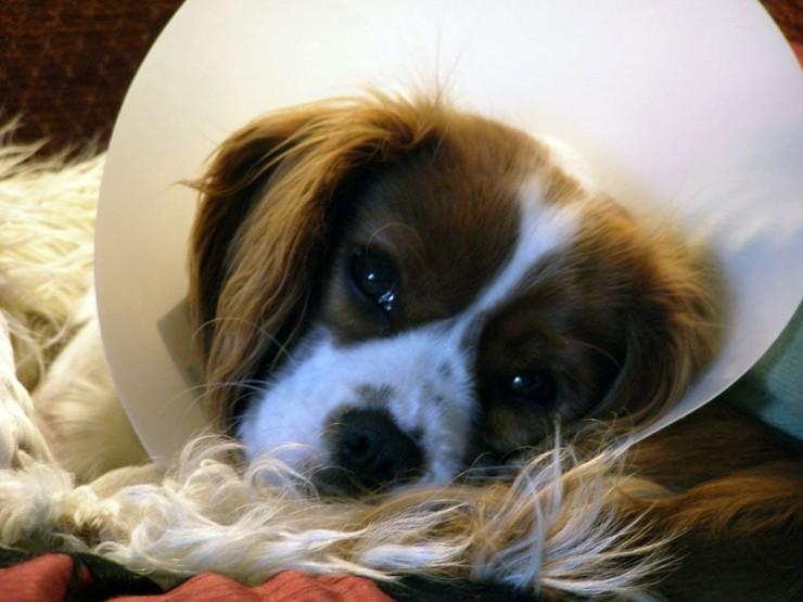 perras-esterilizacion-cuidados-art