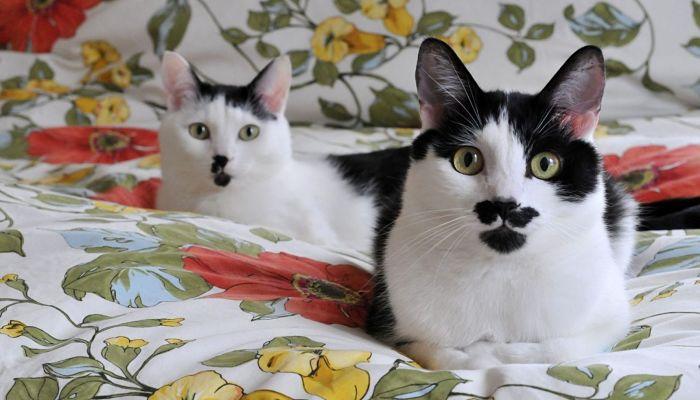 diabetes-en-gatos-tratamiento