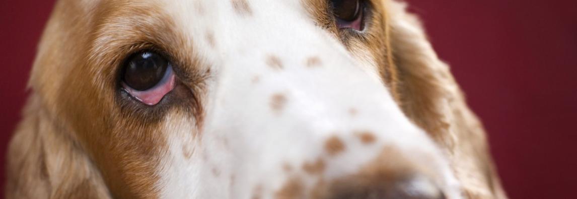 Olhos vermelhos no pet é sinal de alerta