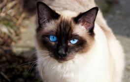 Você sabe diferenciar um gato Siamês de um vira-lata? Explicamos as diferenças