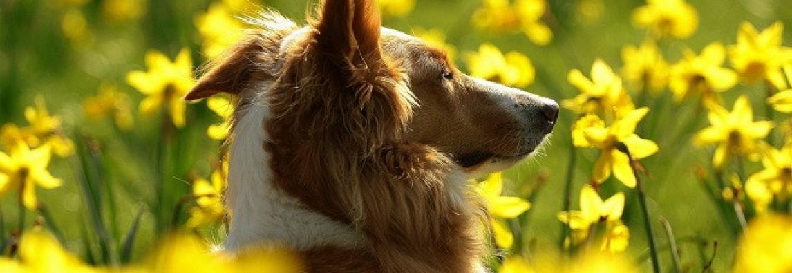 Alergia ao pólen é comum em animais na Primavera