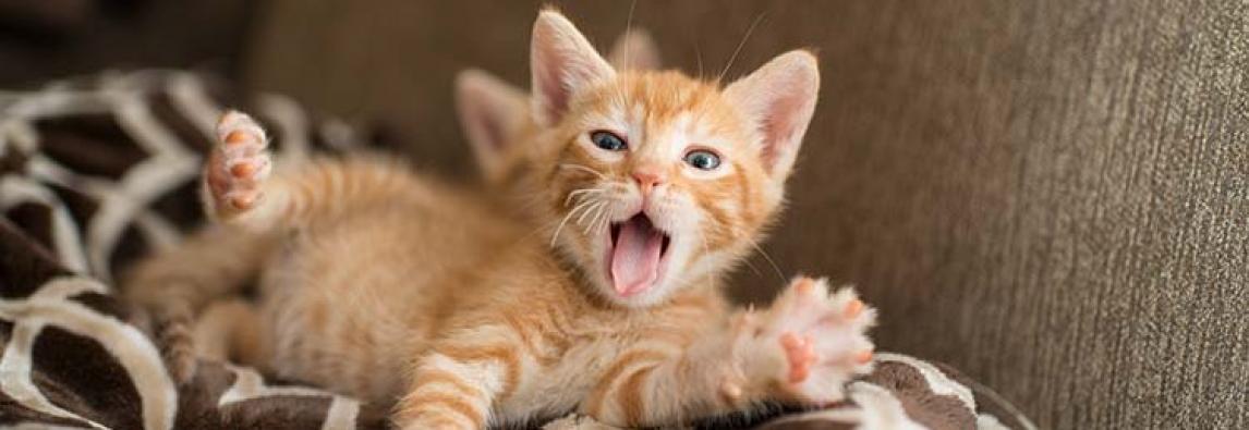 Miado de gato: entenda o que o seu gato está querendo dizer