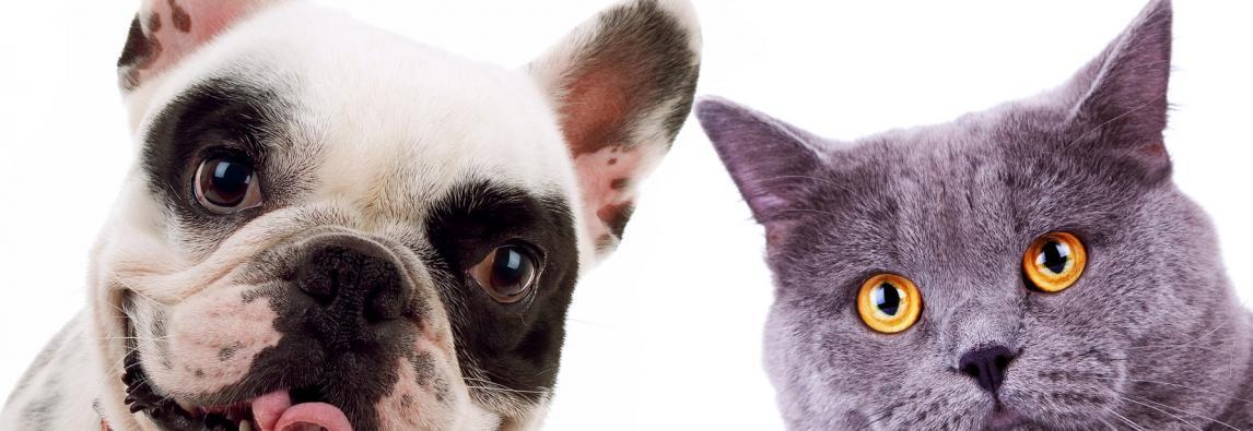 Verão favorece o aparecimento de pulgas em cães e gatos