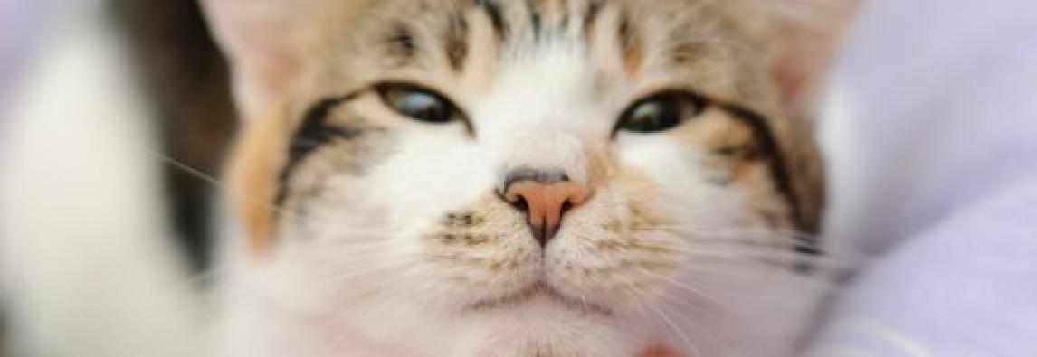 Grandes passos para limpar os ouvidos ao seu gato