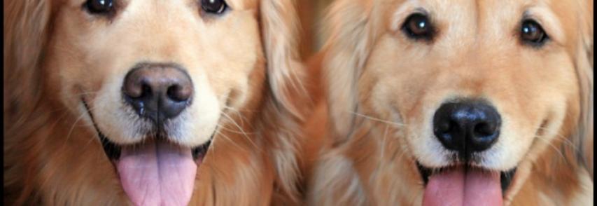 Por que os cães ficam com a língua de fora?