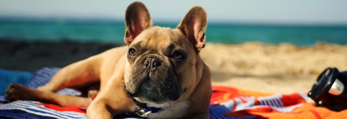 Levar cães à praia aumenta riscos de verme do coração
