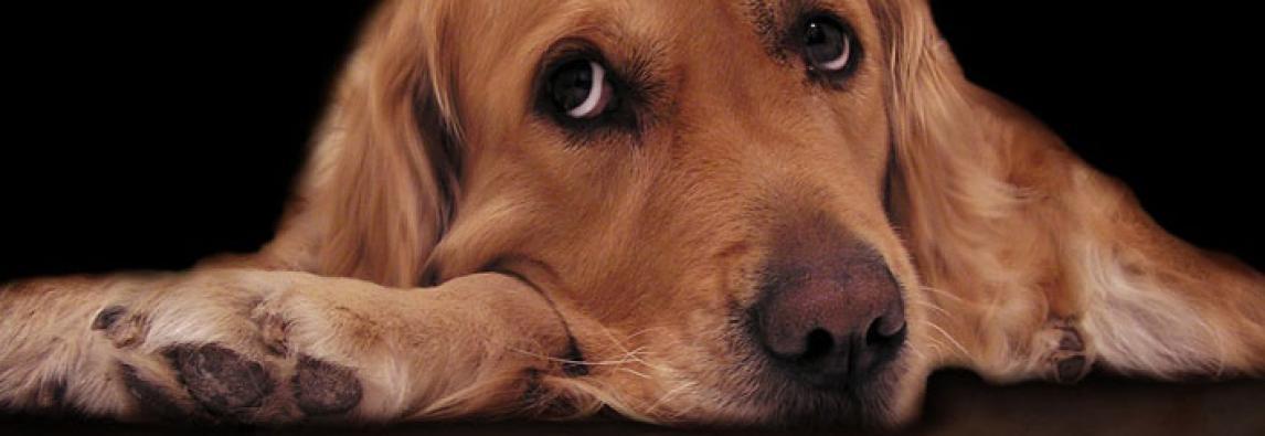 Porque cachorros choramingam