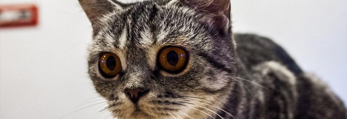 Alimentos que gatos não podem comer: confira 10 pratos que devem ficar fora do cardápio
