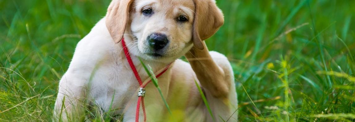 Coceira em cachorro: quando é um problema?