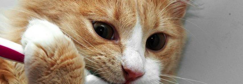 Cuidados com os dentes – escovando os dentes do seu gato
