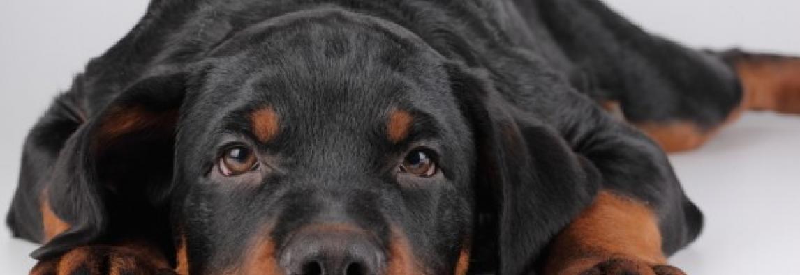 Leishmaniose Canina