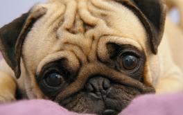 (Português) Afinal, por quanto tempo um cachorro pode ficar sozinho em casa?
