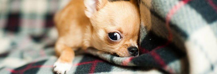 Dicas para deixar seu cão sozinho em casa e feliz