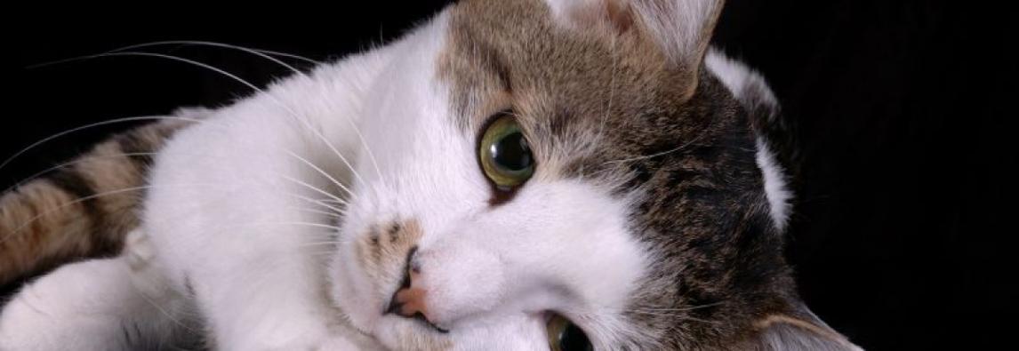 4 doenças de pele em gatos para prestar atenção