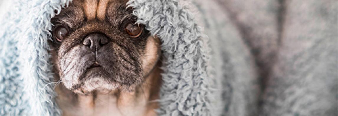 Cuidados com pug no inverno: 6 maneiras de proteger seu cachorro no frio