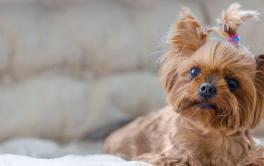 Para espaços pequenos: 8 raças de cachorros que não crescem muito