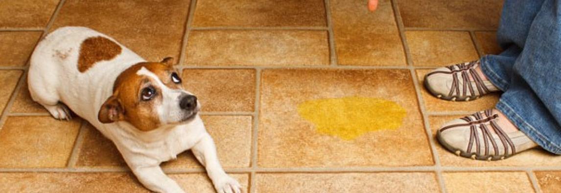 3 erros ao ensinar o cachorro a fazer cocô e xixi no lugar certo