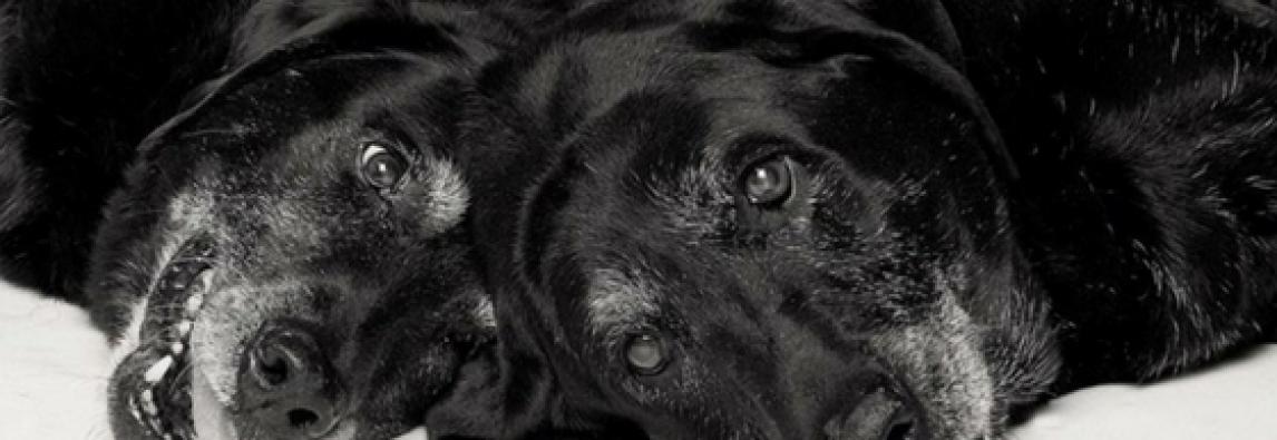Como saber se seu cão está envelhecendo