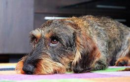 Dermatite canina: o que é e como tratar esse problema de pele