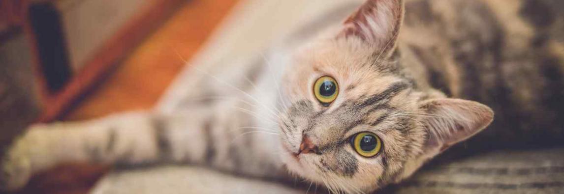 Gato tossindo – Sintomas e possíveis causas