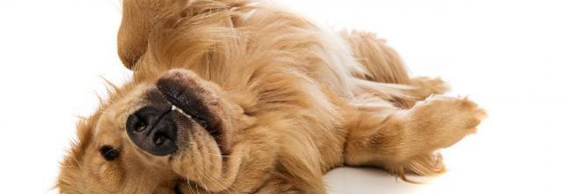 Massagem em cachorros vira moda nos Estados Unidos