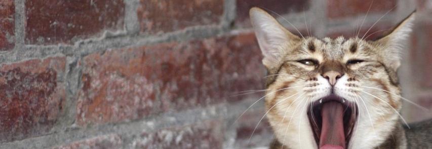 Por que gatos miam?