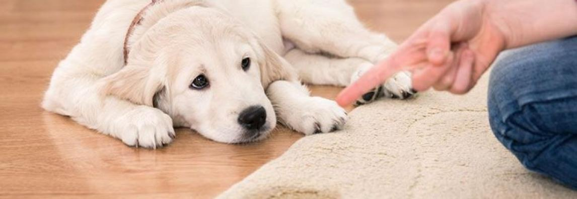 3 erros que todo dono comete na hora de ensinar o cachorro a fazer xixi e cocô no lugar certo