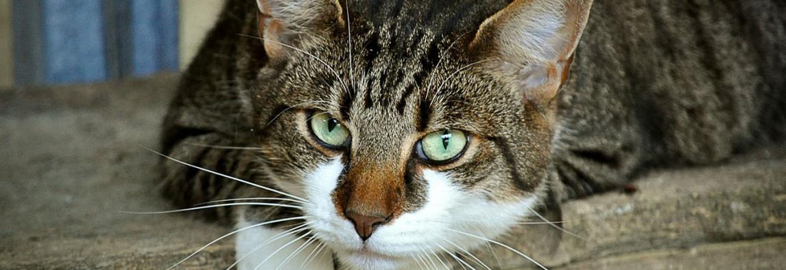 Diabetes em Gatos – Como diagnosticar e de que forma tratar